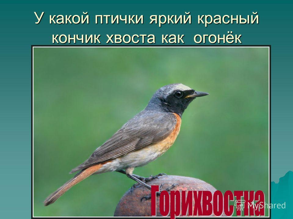 У какой птички яркий красный кончик хвоста как огонёк