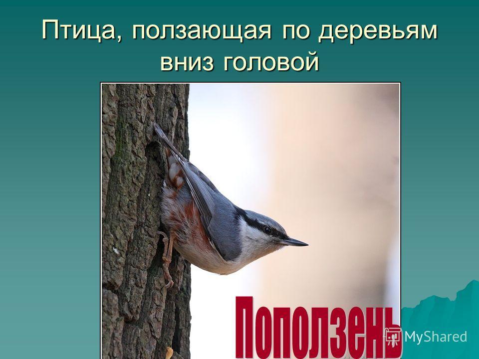 Птица, ползающая по деревьям вниз головой