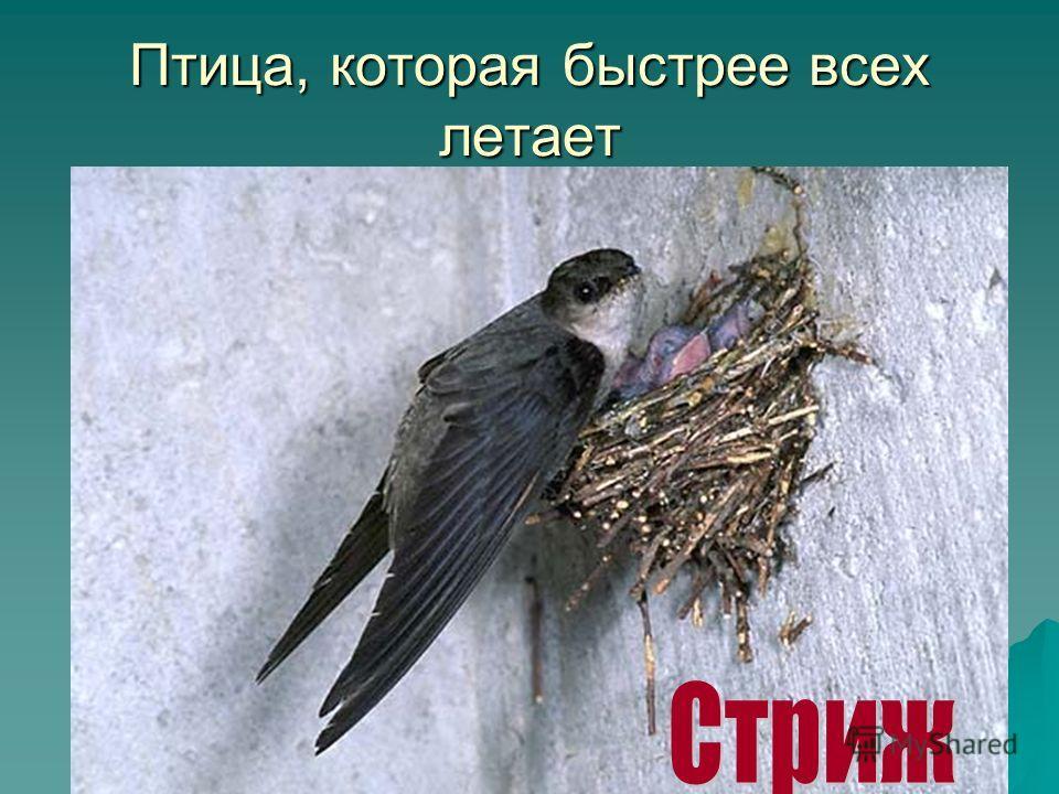 Птица, которая быстрее всех летает