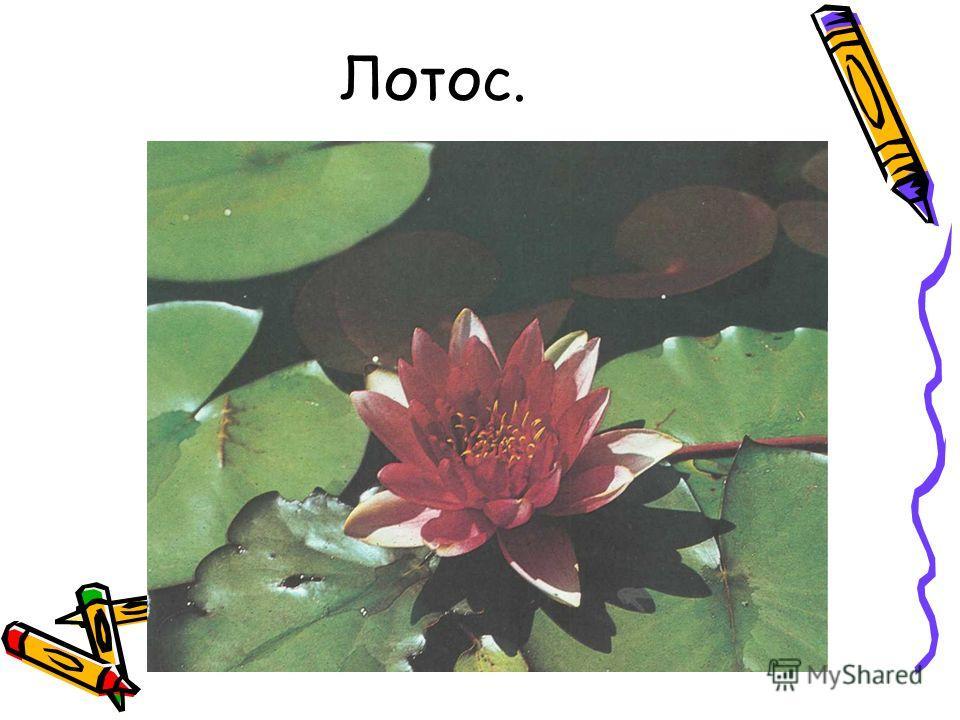 Лотос.