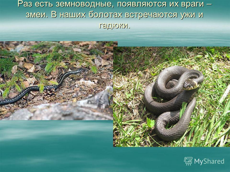 Раз есть земноводные, появляются их враги – змеи. В наших болотах встречаются ужи и гадюки.