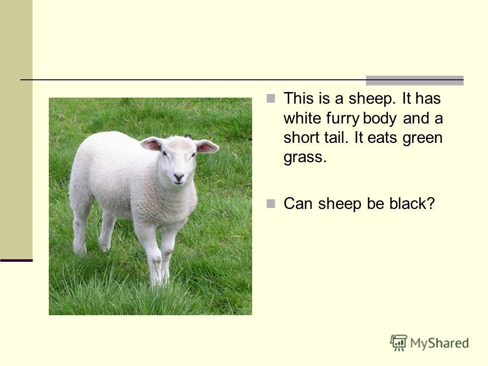 This is a sheep. It has white furry body and a short tail. It eats green grass. Can sheep be black?