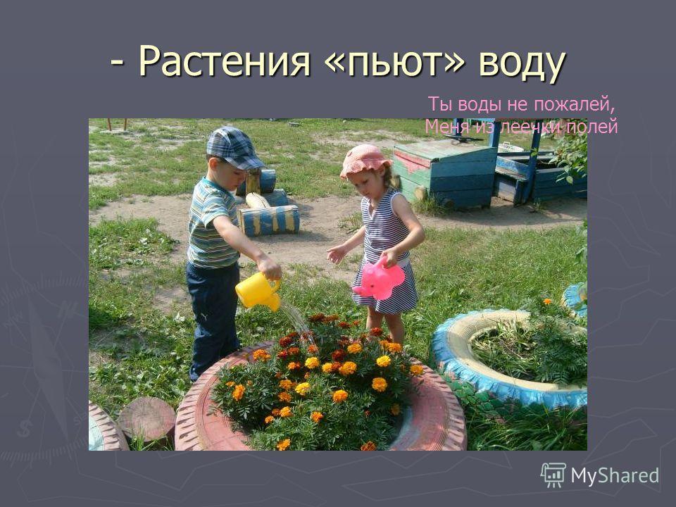 - Растения «пьют» воду Ты воды не пожалей, Меня из леечки полей