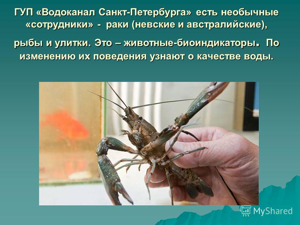 ГУП «Водоканал Санкт-Петербурга» есть необычные «сотрудники» - раки (невские и австралийские), рыбы и улитки. Это – животные-биоиндикаторы. По изменению их поведения узнают о качестве воды.