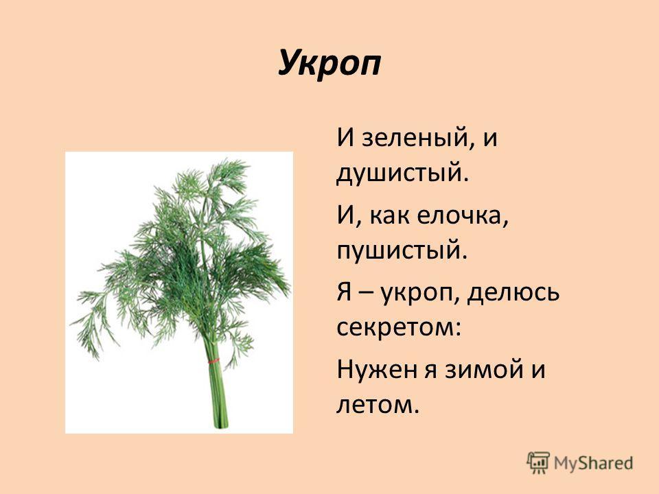Укроп И зеленый, и душистый. И, как елочка, пушистый. Я – укроп, делюсь секретом: Нужен я зимой и летом.