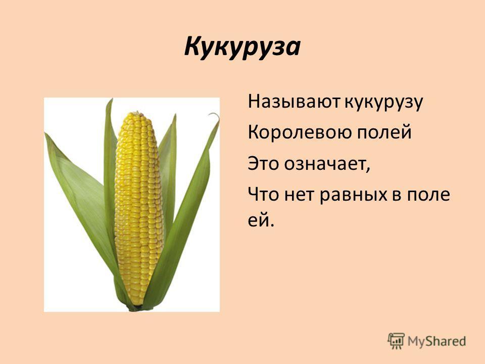 Кукуруза Называют кукурузу Королевою полей Это означает, Что нет равных в поле ей.