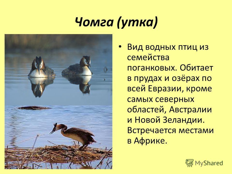 Чомга (утка) Вид водных птиц из семейства поганковых. Обитает в прудах и озёрах по всей Евразии, кроме самых северных областей, Австралии и Новой Зеландии. Встречается местами в Африке.