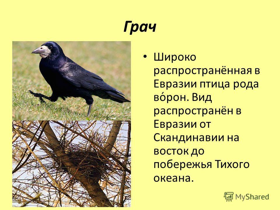 Грач Широко распространённая в Евразии птица рода во́рон. Вид распространён в Евразии от Скандинавии на восток до побережья Тихого океана.