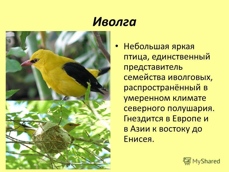 Иволга Небольшая яркая птица, единственный представитель семейства иволговых, распространённый в умеренном климате северного полушария. Гнездится в Европе и в Азии к востоку до Енисея.