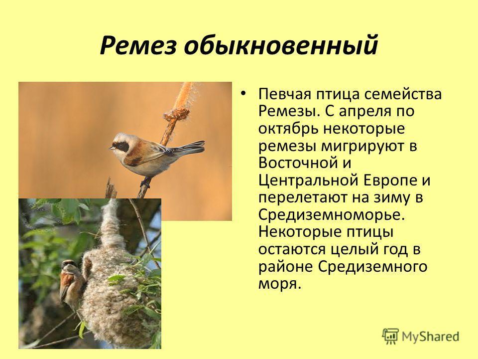Ремез обыкновенный Певчая птица семейства Ремезы. С апреля по октябрь некоторые ремезы мигрируют в Восточной и Центральной Европе и перелетают на зиму в Средиземноморье. Некоторые птицы остаются целый год в районе Средиземного моря.