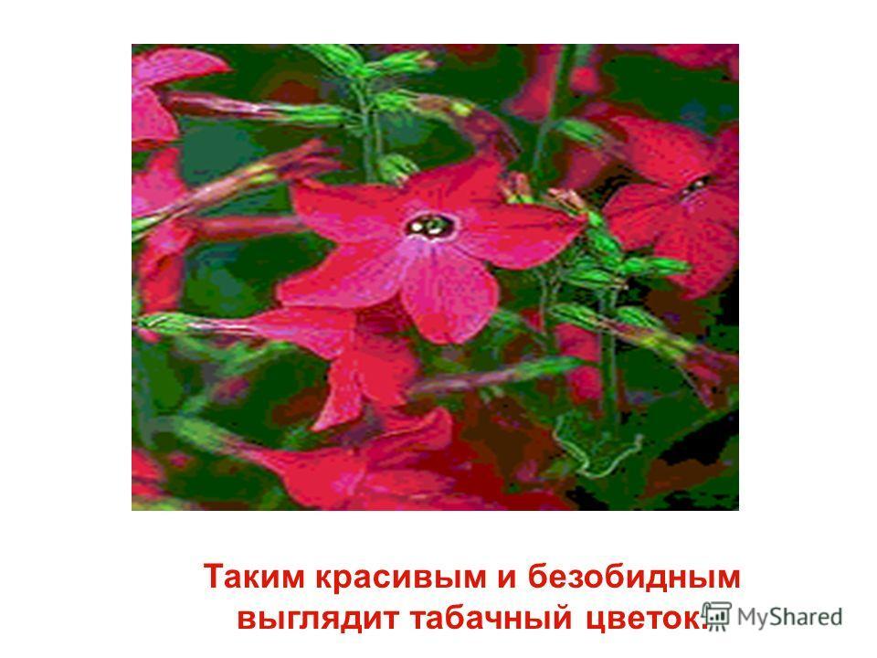 Таким красивым и безобидным выглядит табачный цветок.