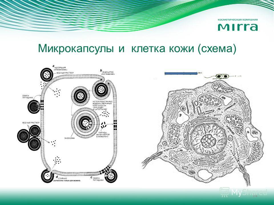 14 Микрокапсулы и клетка кожи (схема)