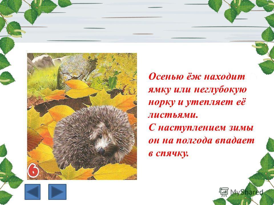Осенью ёж находит ямку или неглубокую норку и утепляет её листьями. С наступлением зимы он на полгода впадает в спячку.