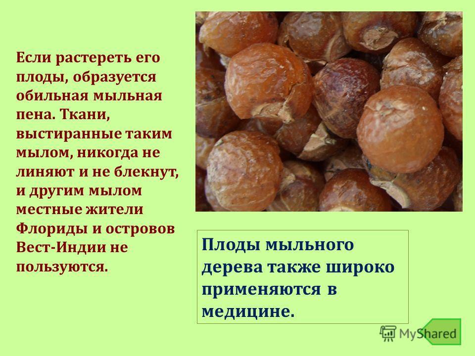 Плоды мыльного дерева также широко применяются в медицине. Если растереть его плоды, образуется обильная мыльная пена. Ткани, выстиранные таким мылом, никогда не линяют и не блекнут, и другим мылом местные жители Флориды и островов Вест-Индии не поль