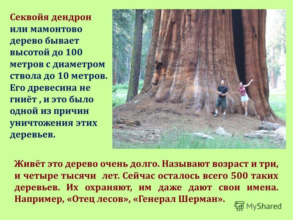 Секвойя дендрон или мамонтово дерево бывает высотой до 100 метров с диаметром ствола до 10 метров. Его древесина не гниёт, и это было одной из причин уничтожения этих деревьев. Живёт это дерево очень долго. Называют возраст и три, и четыре тысячи лет