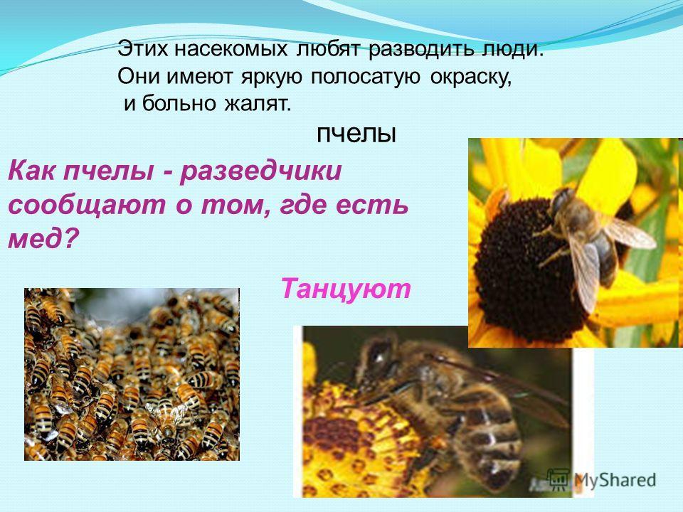 Танцуют Как пчелы - разведчики сообщают о том, где есть мед? Этих насекомых любят разводить люди. Они имеют яркую полосатую окраску, и больно жалят. пчелы