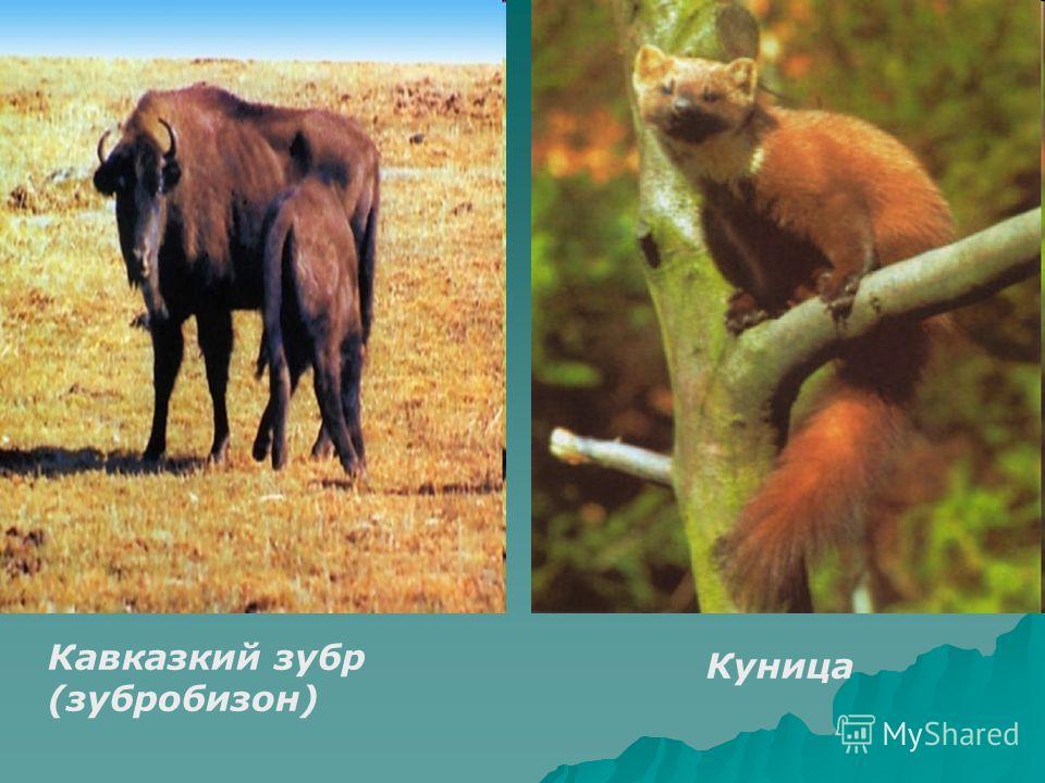 Кавказкий зубр (зубробизон) Куница