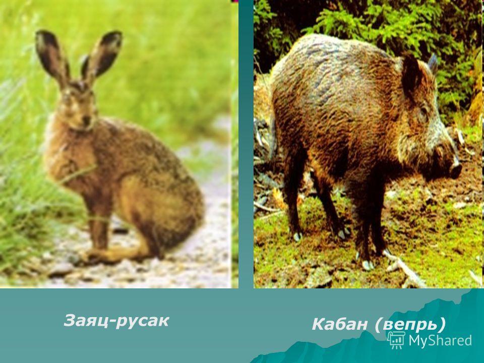 Заяц-русак Кабан (вепрь)