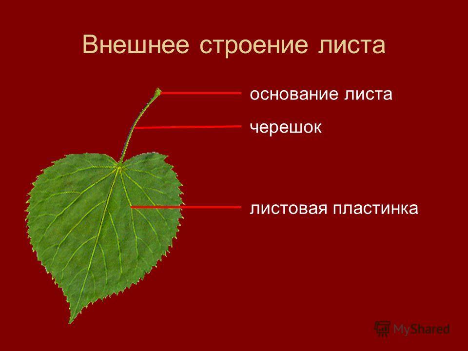 Внешнее строение листа основание листа черешок листовая пластинка