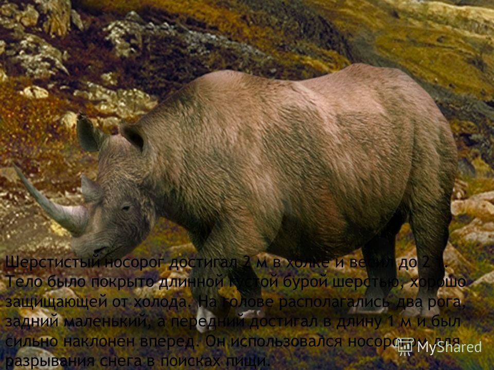 Шерстистый носорог достигал 2 м в холке и весил до 2 т. Тело было покрыто длинной густой бурой шерстью, хорошо защищающей от холода. На голове располагались два рога, задний маленький, а передний достигал в длину 1 м и был сильно наклонен вперед. Он