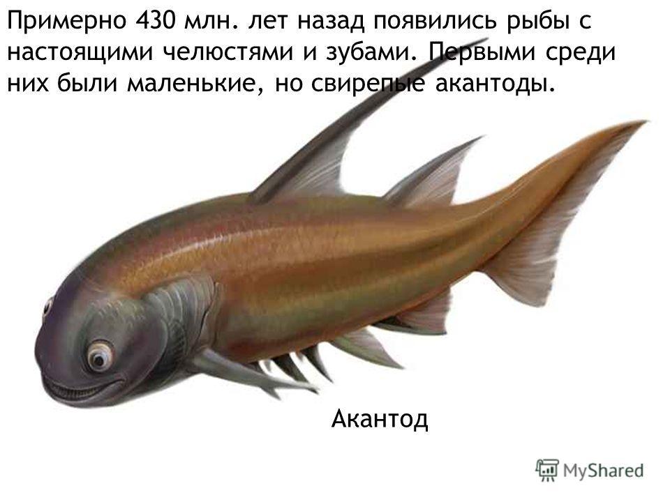 Акантод При Примерно 430 млн. лет назад появились рыбы с настоящими челюстями и зубами. Первыми среди них были маленькие, но свирепые акантоды.
