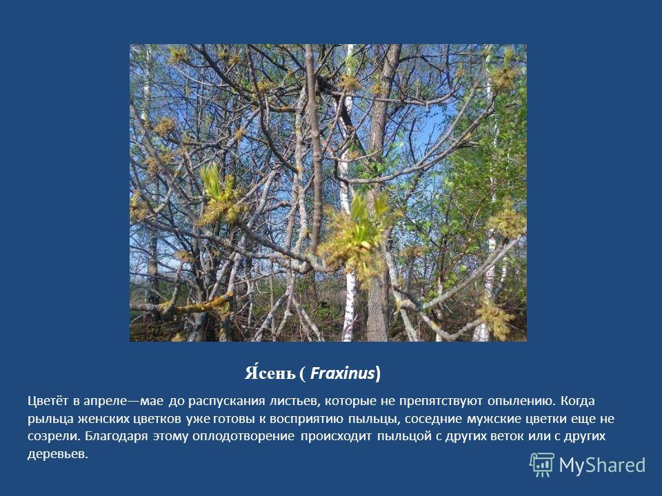 Я́сень ( Fraxinus) Цветёт в апрелемае до распускания листьев, которые не препятствуют опылению. Когда рыльца женских цветков уже готовы к восприятию пыльцы, соседние мужские цветки еще не созрели. Благодаря этому оплодотворение происходит пыльцой с д