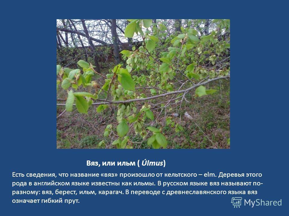 Вяз, или ильм ( Úlmus) Есть сведения, что название «вяз» произошло от кельтского – elm. Деревья этого рода в английском языке известны как ильмы. В русском языке вяз называют по- разному: вяз, берест, ильм, карагач. В переводе с древнеславянского язы