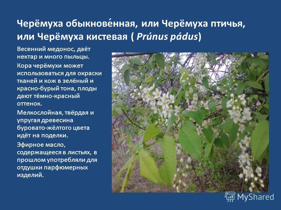 Черёмуха обыкнове́нная, или Черёмуха птичья, или Черёмуха кистевая ( Prúnus pádus) Весенний медонос, даёт нектар и много пыльцы. Кора черёмухи может использоваться для окраски тканей и кож в зелёный и красно-бурый тона, плоды дают тёмно-красный оттен