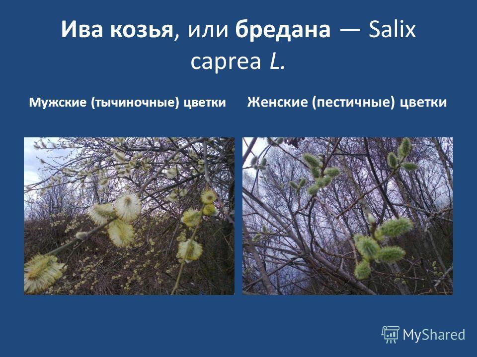 Ива козья, или бредана Salix сарrеа L. Мужские (тычиночные) цветки Женские (пестичные) цветки