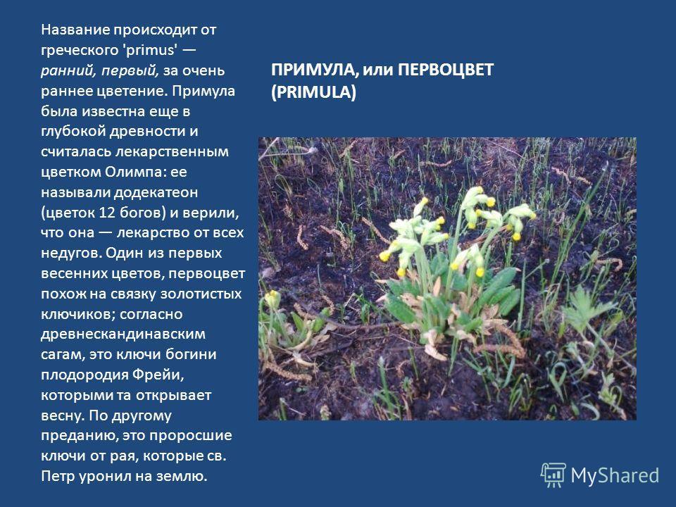 ПРИМУЛА, или ПЕРВОЦВЕТ (PRIMULA) Название происходит от греческого 'primus' ранний, первый, за очень раннее цветение. Примула была известна еще в глубокой древности и считалась лекарственным цветком Олимпа: ее называли додекатеон (цветок 12 богов) и