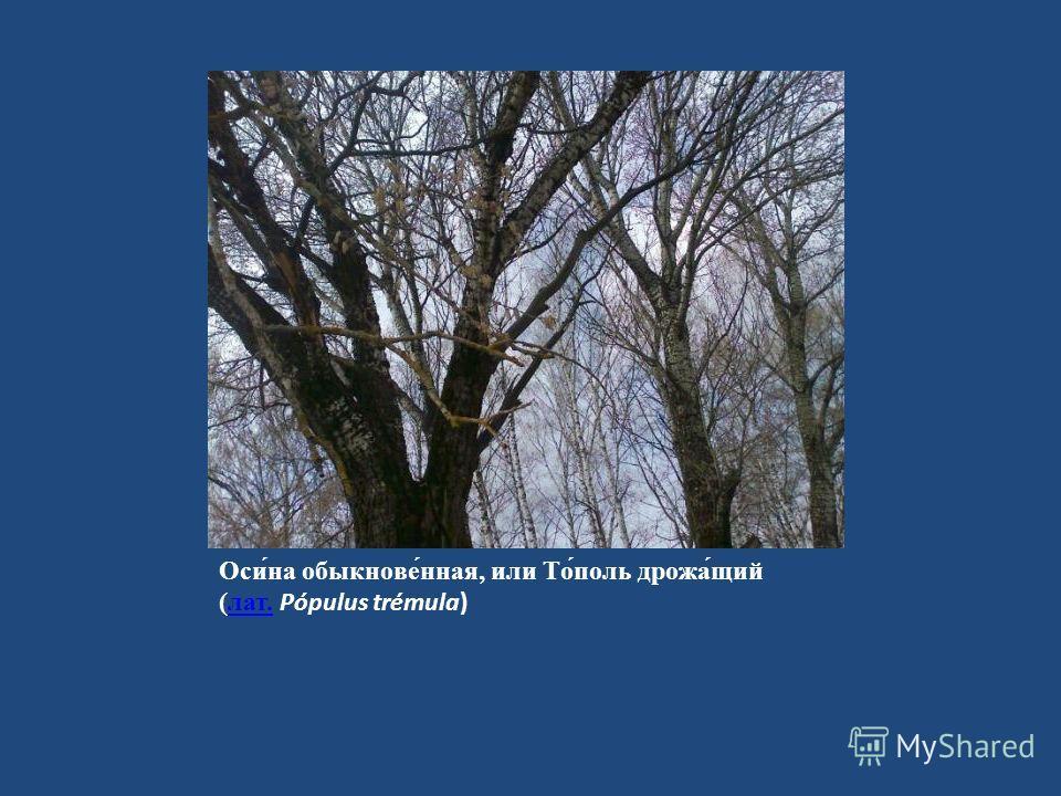 Оси́на обыкнове́нная, или То́поль дрожа́щий (лат. Pópulus trémula)лат.