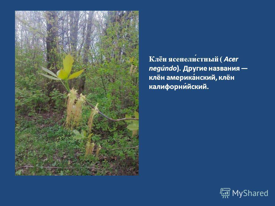Клён ясенели́стный ( Acer negúndo). Другие названия клён америка́нский, клён калифорни́йский.