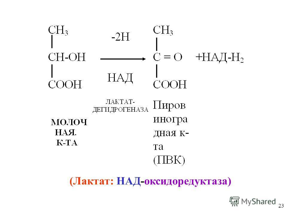 23 (Лактат: НАД-оксидоредуктаза)