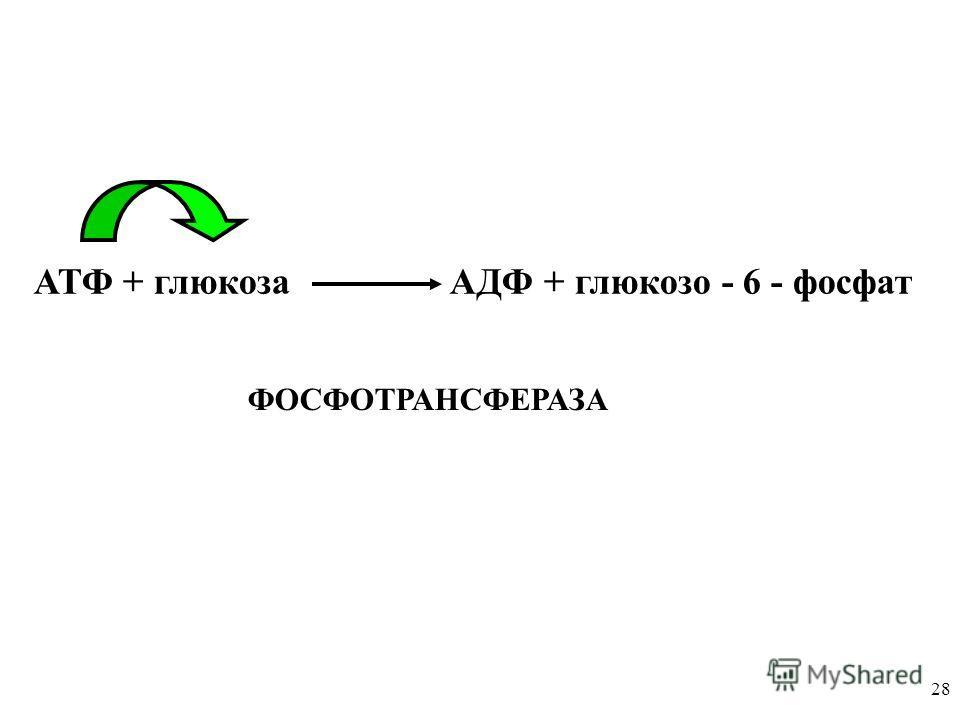 28 АТФ + глюкоза АДФ + глюкозо - 6 - фосфат ФОСФОТРАНСФЕРАЗА