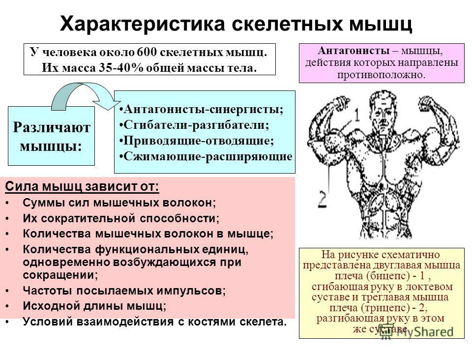 Характеристика скелетных мышц Сила мышц зависит от: Суммы сил мышечных волокон; Их сократительной способности; Количества мышечных волокон в мышце; Количества функциональных единиц, одновременно возбуждающихся при сокращении; Частоты посылаемых импул