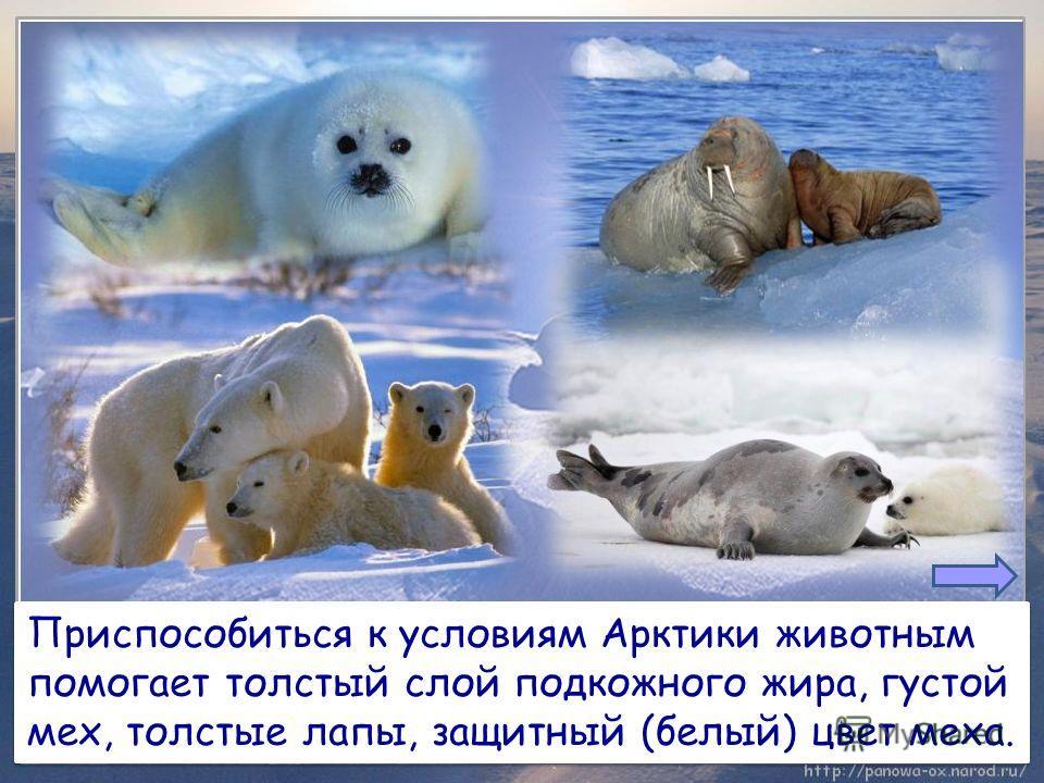 Приспособиться к условиям Арктики животным помогает толстый слой подкожного жира, густой мех, толстые лапы, защитный (белый) цвет меха. Приспособиться к условиям Арктики животным помогает толстый слой подкожного жира, густой мех, толстые лапы, защитн
