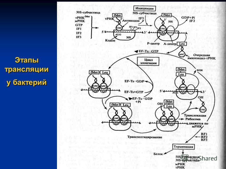 Этапы трансляции у бактерий