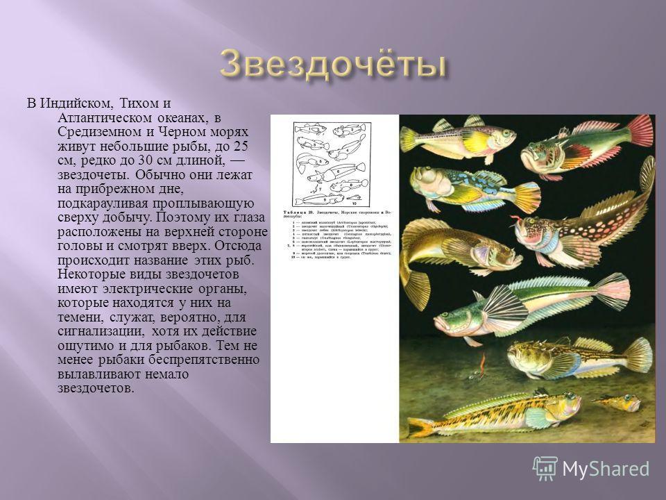 В Индийском, Тихом и Атлантическом океанах, в Средиземном и Черном морях живут небольшие рыбы, до 25 см, редко до 30 см длиной, звездочеты. Обычно они лежат на прибрежном дне, подкарауливая проплывающую сверху добычу. Поэтому их глаза расположены на