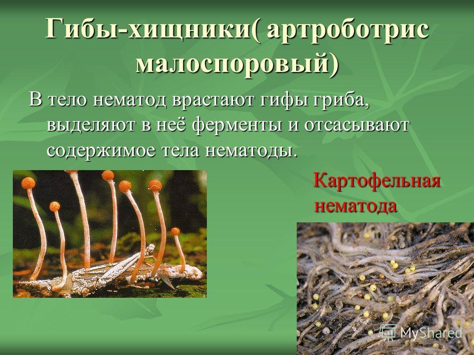 Гибы-хищники( артроботрис малоспоровый) В тело нематод врастают гифы гриба, выделяют в неё ферменты и отсасывают содержимое тела нематоды. Картофельная нематода нематода Картофельная нематода нематода