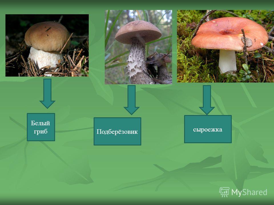 Белый гриб Подберёзовик сыроежка
