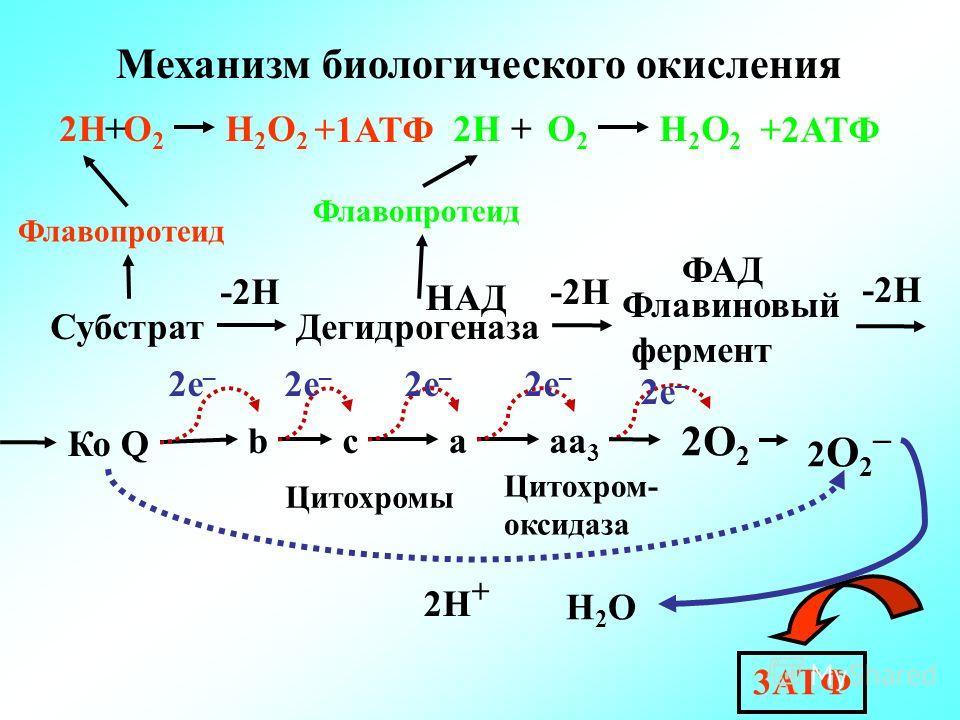 Механизм биологического окисления СубстратДегидрогеназа Флавиновый фермент Цитохромы Цитохром- оксидаза 2О 2 Н2OН2O Флавопротеид 2НН2О2Н2О2 О2О2 + Н2О2Н2О2 О2О2 + -2Н НАД ФАД -2Н Ко Q -2Н bcaaa 3 2e – 2 О 2 – 2H + 3АТФ +2АТФ+1АТФ