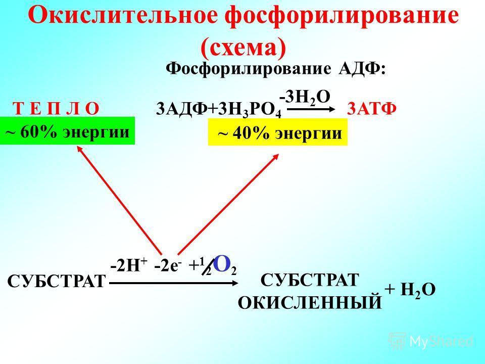Окислительное фосфорилирование (схема) Т Е П Л О ~ 40% энергии -3Н 2 О Фосфорилирование АДФ: ~ 60% энергии 3АДФ+3Н 3 РО 4 3АТФ СУБСТРАТ ОКИСЛЕННЫЙ + Н 2 О -2Н + -2е - + 1 2 О 2
