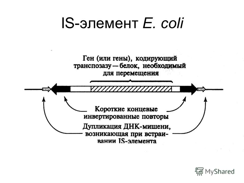 IS-элемент Е. coli