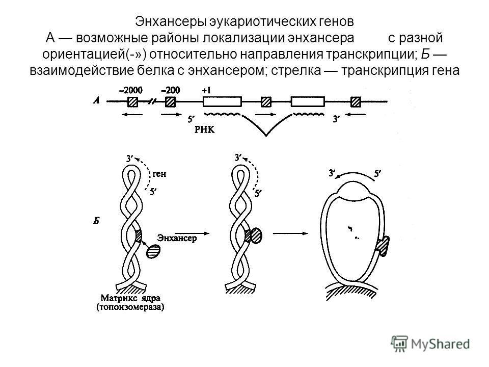 Энхансеры эукариотических генов А возможные районы локализации энхансерас разной ориентацией(-») относительно направления транскрипции; Б взаимодействие белка с энхансером; стрелка транскрипция гена