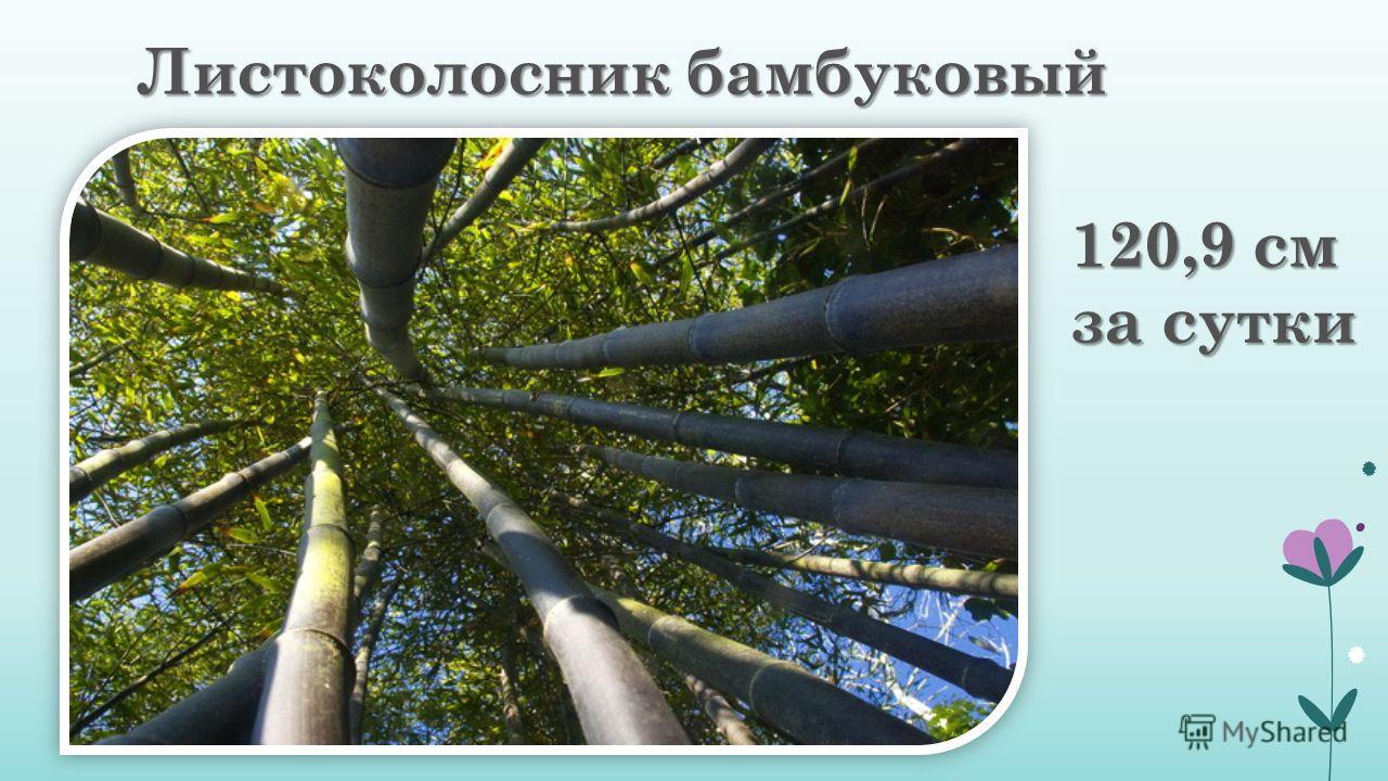Листоколосник бамбуковый 120,9 см за сутки