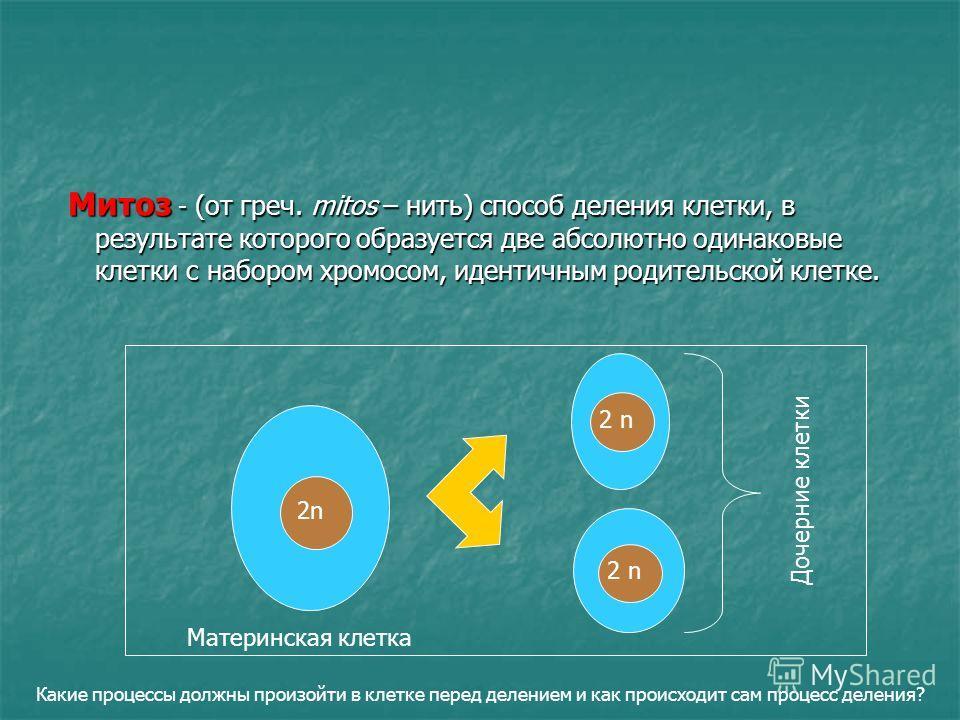 Митоз - (от греч. mitos – нить) способ деления клетки, в результате которого образуется две абсолютно одинаковые клетки с набором хромосом, идентичным родительской клетке. Митоз - (от греч. mitos – нить) способ деления клетки, в результате которого о