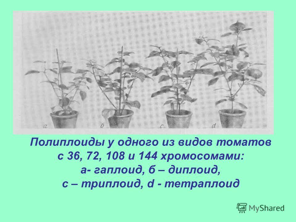 Полиплоиды у одного из видов томатов с 36, 72, 108 и 144 хромосомами: а- гаплоид, б – диплоид, с – триплоид, d - тетраплоид