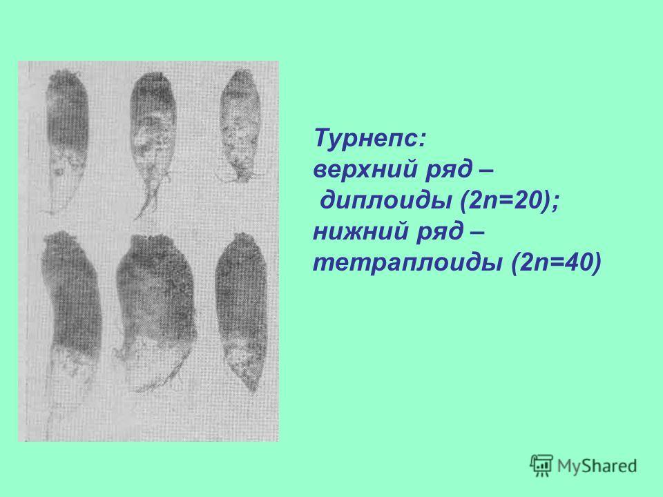 Турнепс: верхний ряд – диплоиды (2n=20); нижний ряд – тетраплоиды (2n=40)