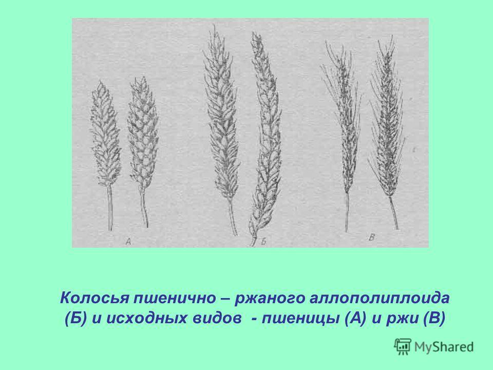 Колосья пшенично – ржаного аллополиплоида (Б) и исходных видов - пшеницы (А) и ржи (В)
