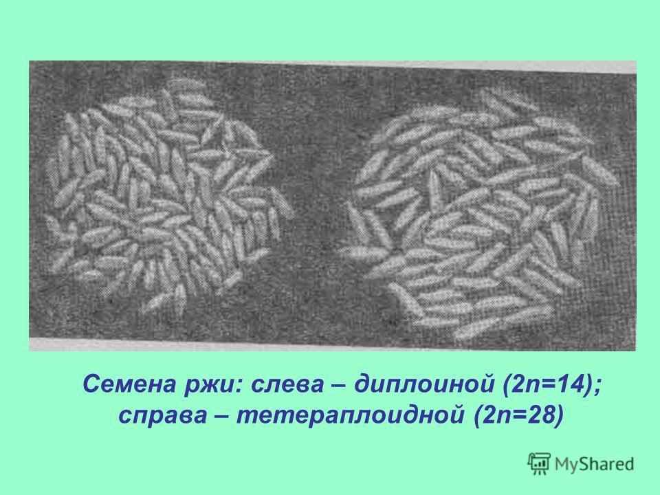 Семена ржи: слева – диплоиной (2n=14); справа – тетераплоидной (2n=28)